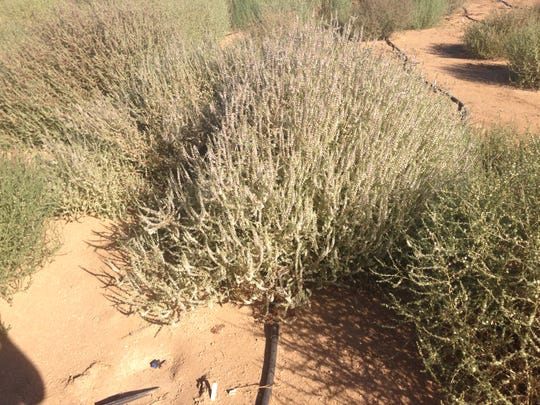 A Salsola ryanii plant in Riverside, California.