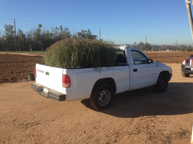 A Salsola ryanii plant takes up the whole bed of a pickup in Riverside, California.
