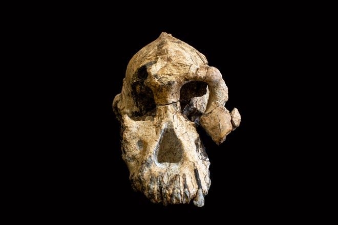The 3.8 million year old skull of a human ancestor was recently discovered in Ethiopia.