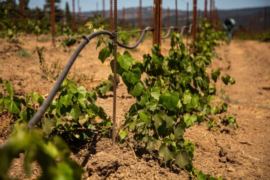 Spottswoode Winery works with new drought-resistant rootstocks in the ground.
