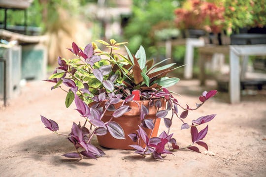This container garden includes Swedish ivy and two types of tradescantia for easy care.