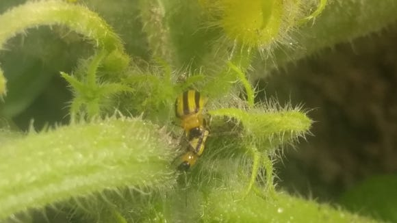 Cucumber beetles are about ⅜ inches long with a yellow body and distinctive black stripes.