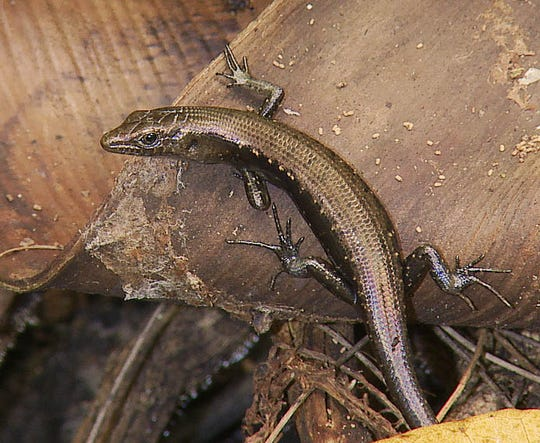 Slevin's Skink, also known as the Mariana Skink