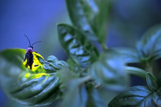 Fireflies eat grubs, aphids and other garden-destroying larvae.