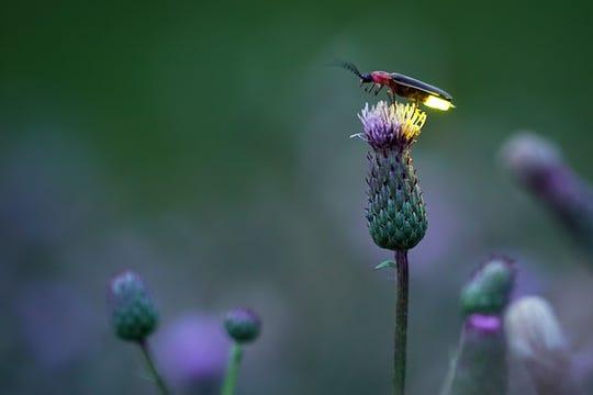 This photo of a firefly illuminating a thistle was taken near Fairfield, Iowa.