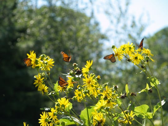 Migrating monarch butterflies on cup plants outside Woodland Dunes' headquarters.
