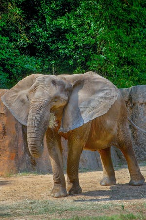 Belle, a 38-year-old female African elephant, will be moving to the Milwaukee County Zoo this fall.
