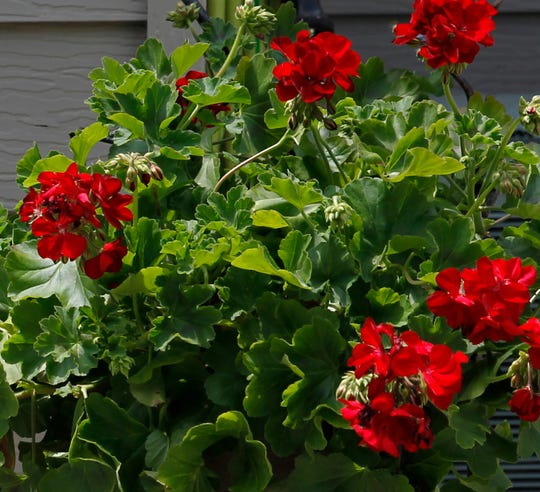 Geraniums are among the plants that should be brought inside for the winter.