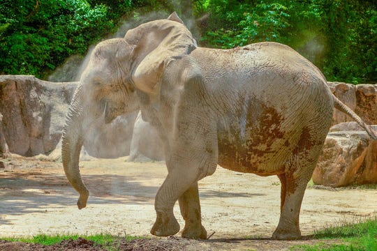 Belle, a 38-year-old female African elephant, has moved to the Milwaukee County Zoo this fall.