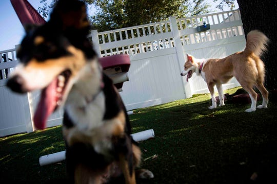 Molly, left, and Milly, right, two of 29 dogs brought in from Puerto Rico ahead of Hurricane Dorian, play at Humane Society Naples on Thursday, August 29, 2019.