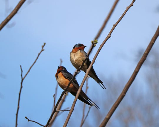Barn swallows will soon depart on the annual fall journey to South America.
