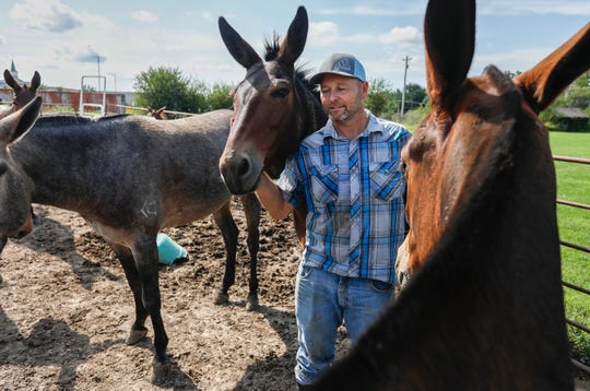 Les Clancy hangs out with his mules at his farm in Ozark, Mo., on Tuesday, Aug. 27, 2019. Clancy is organizing the Ozark Mule Days event on Friday, Aug. 30 - Sunday, Sep. 1, at the Ozark Empire Fairgrounds in Springfield, Mo.