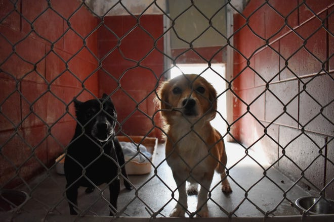 Killer (left), a male terrier mix, and Snuggles, a female terrier mix, are ready to ride out Hurricane Dorian on Thursday, Aug. 29, 2019, at the Humane Society of St. Lucie County in Fort Pierce.