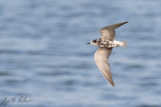 Black Terns molt into their white-and-gray winter plumage in late summer.