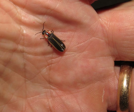 Photinus carolinus, the only species of firefly in North America whose individuals can synchronize their lighting display. Dr. Clyde Sorenson, an entomologist from N.C. State University, found the species on Grandfather Mountain in June.