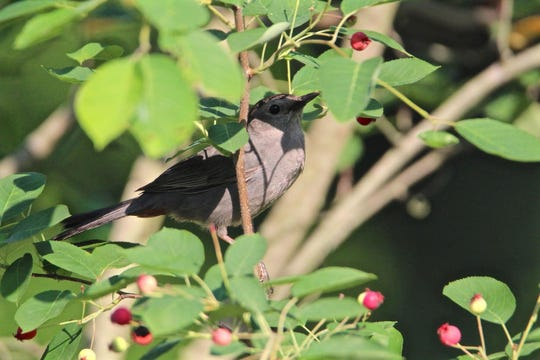 Gray Catbirds are one of the bird species that can be found at Callahan Park in Detroit.