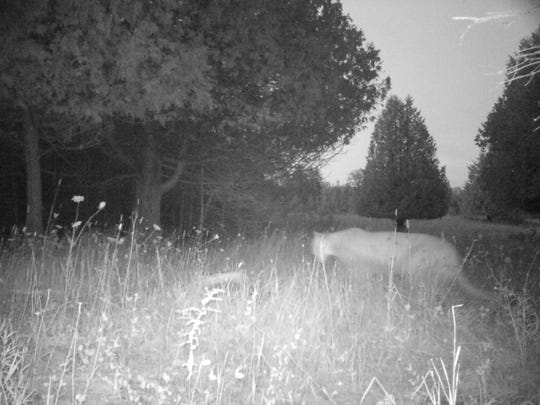 A Michigan Department of Natural Resources trail camera picked up an image of a cougar at 8:55 p.m. Aug. 17.