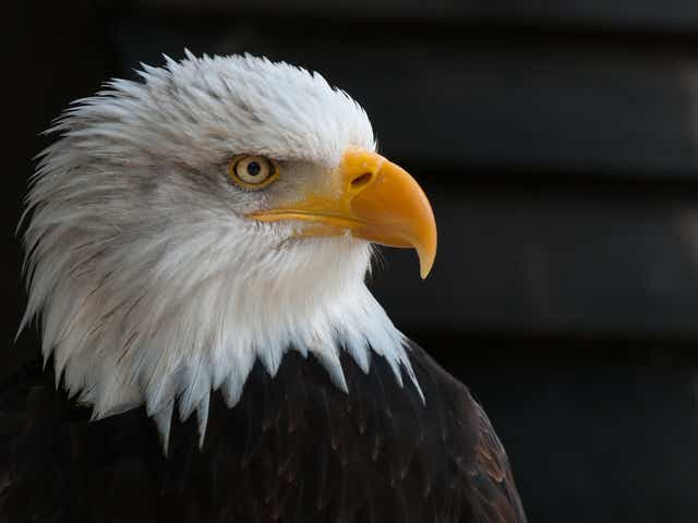 Bald Eagle S History And Comeback From Near Extinction In The Us