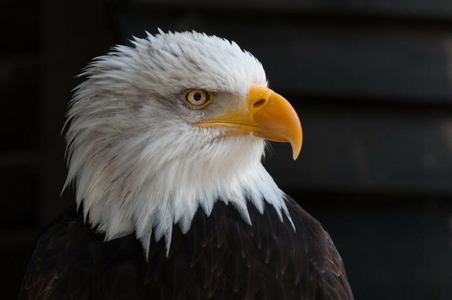 The success of Michigan's bald eagle population wouldn't have been possible without the effort of many groups working together, including Michigan conservationists, legislators, and hunters and anglers.