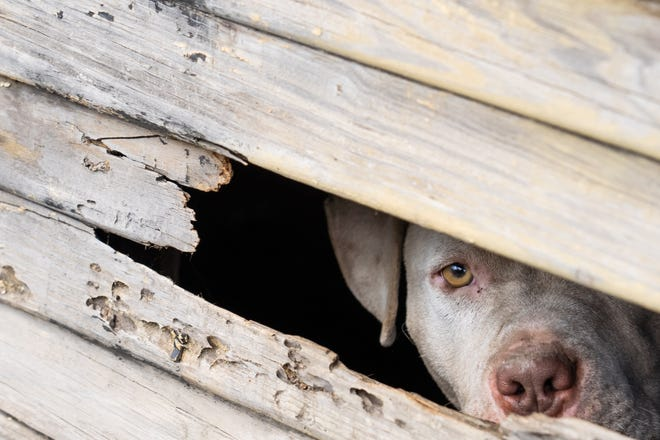 A pit bull looks out of a section of an empty garage behind a house it had chewed through while left tethered to a rail in Detroit on Friday, August 23, 2019 as Detroit Dog Rescue responds to a call about dogs in the area.