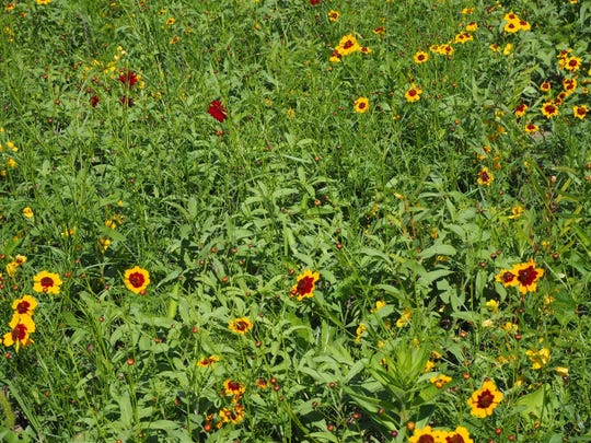 Partridge pea, prairie coreopsis and native sunflowers have bloomed in the meadow in Callahan Park on Detroit's east side.