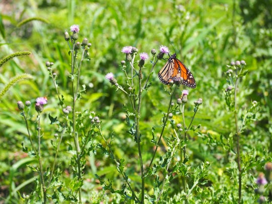 "Monarch butterflies can be seen in the newly transformed ""intentional meadow"" at Callahan Park in Detroit."