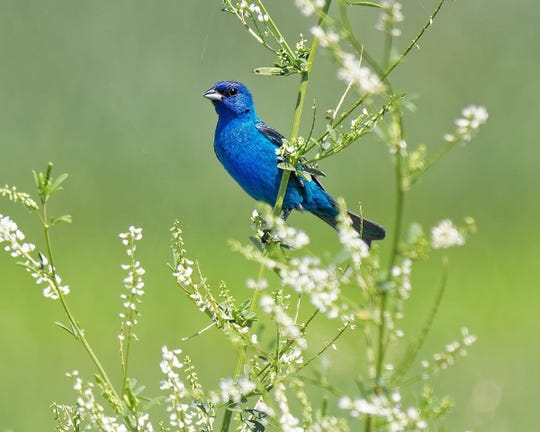 Indigo Bunting is one of the bird species that can be found at Callahan Park in Detroit.
