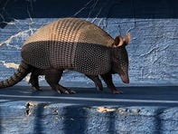 Yes, that's an armadillo roaming the Reitz Bowl