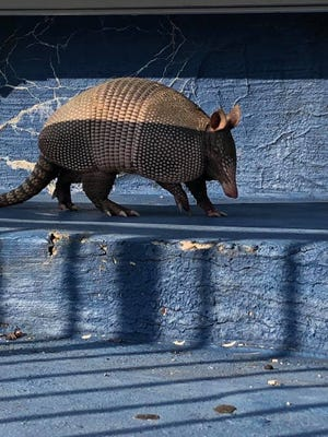 RallyDillo? An armadillo was spotted roaming the stands of the Reitz Bowl on Friday morning, hours before the Panthers' Week 2 game against Clarksville Northeast (Tennessee).