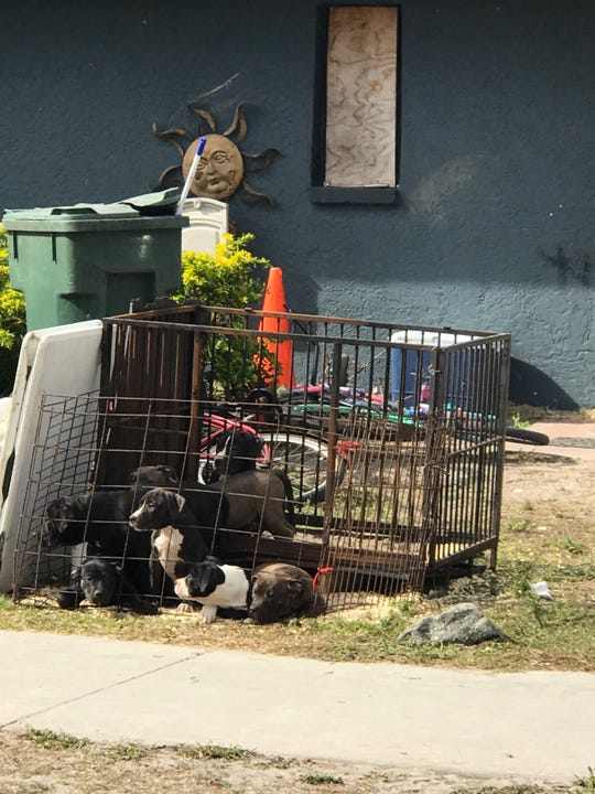 "A crate of puppies sits in front of a home in Immokalee. Tom Kepp, owner of SNIP Collier, said there was a ""Puppies for sale"" sign at the home. Kepp said he tried to talk the owner out of selling the puppies to no avail."