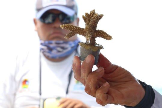 Especialistas en ecología enseñan este viernes uno de los 20.000 pies de coral que serán plantados frente a las costas de Cancún y la Riviera Maya, en el caribe mexicano.