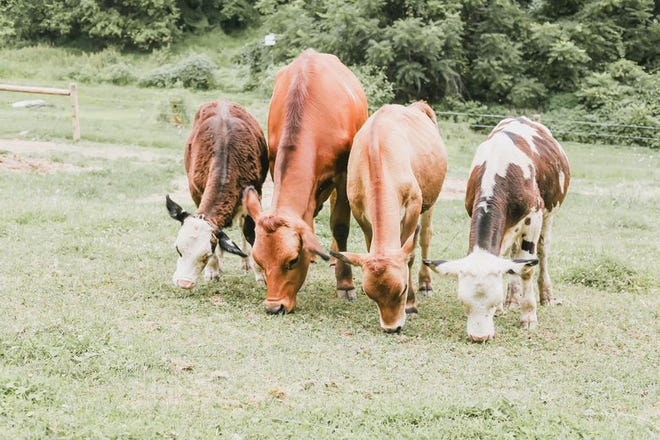 Four steer went missing from the Here With Us Farm Sanctuary in North Codorus Township Thursday, Aug. 29. Photo courtesy of Here With Us Farm Sanctuary.