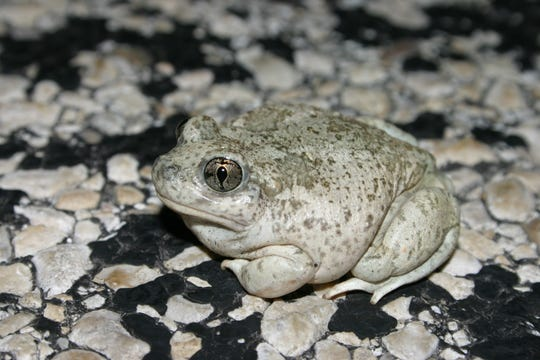 Southern spadefoot frogs have been known to remain underground for years waiting for the right conditions for reproduction.