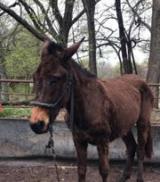 Shaggy, underweight and infested with worms when found, Okie is now a healthy, obedient mule under the care of trainer John Logsdon.