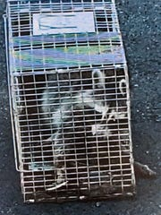 Raccoon captured Sunday, Aug. 25, 2019, at Haverstraw Elementary School. A family of raccoons trapped in the building and fleas mean students will spend the first days of schools elsewhere.