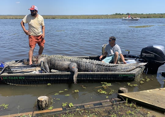 Derrick Saucier of Pascagoula (left) and Jarrod Davis of Hurley managed to catch a 13-foot, 6-inch alligator that had eluded hunters for years in the Southeast Zone.