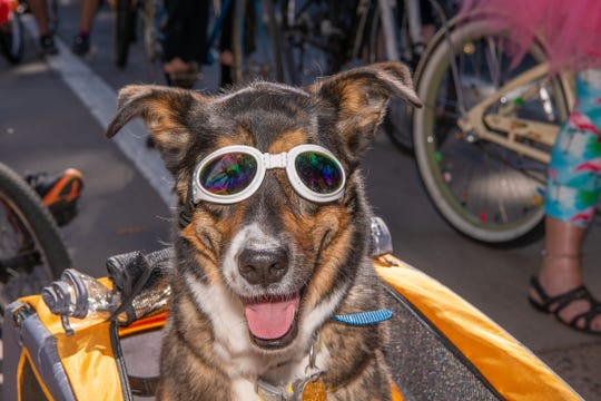 Dogs show off during the Tour de Fat bike parade on Saturday, August 31, 2019, in Fort Collins, Colo.