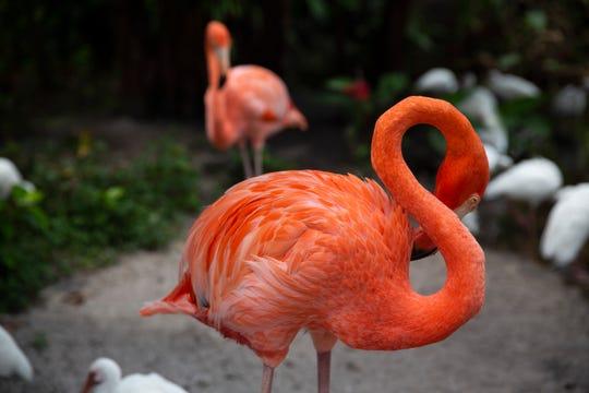 A flamingo preens at the Everglades Wonder Garden on Friday, Aug. 30, 2019, in Bonita Springs.