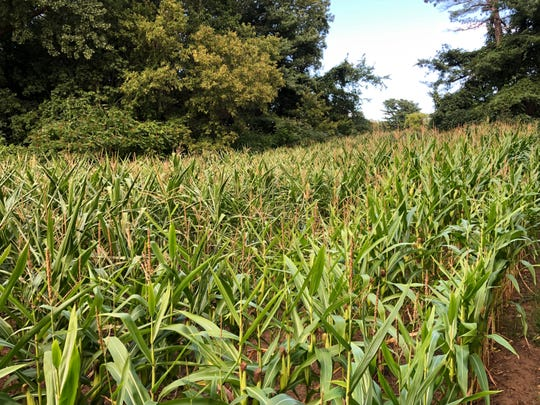 A corn field is wedged into a strip of land off the South Burlington Recreation path near Stonehedge condominiums on Sunday, Sept. 1, 2019.