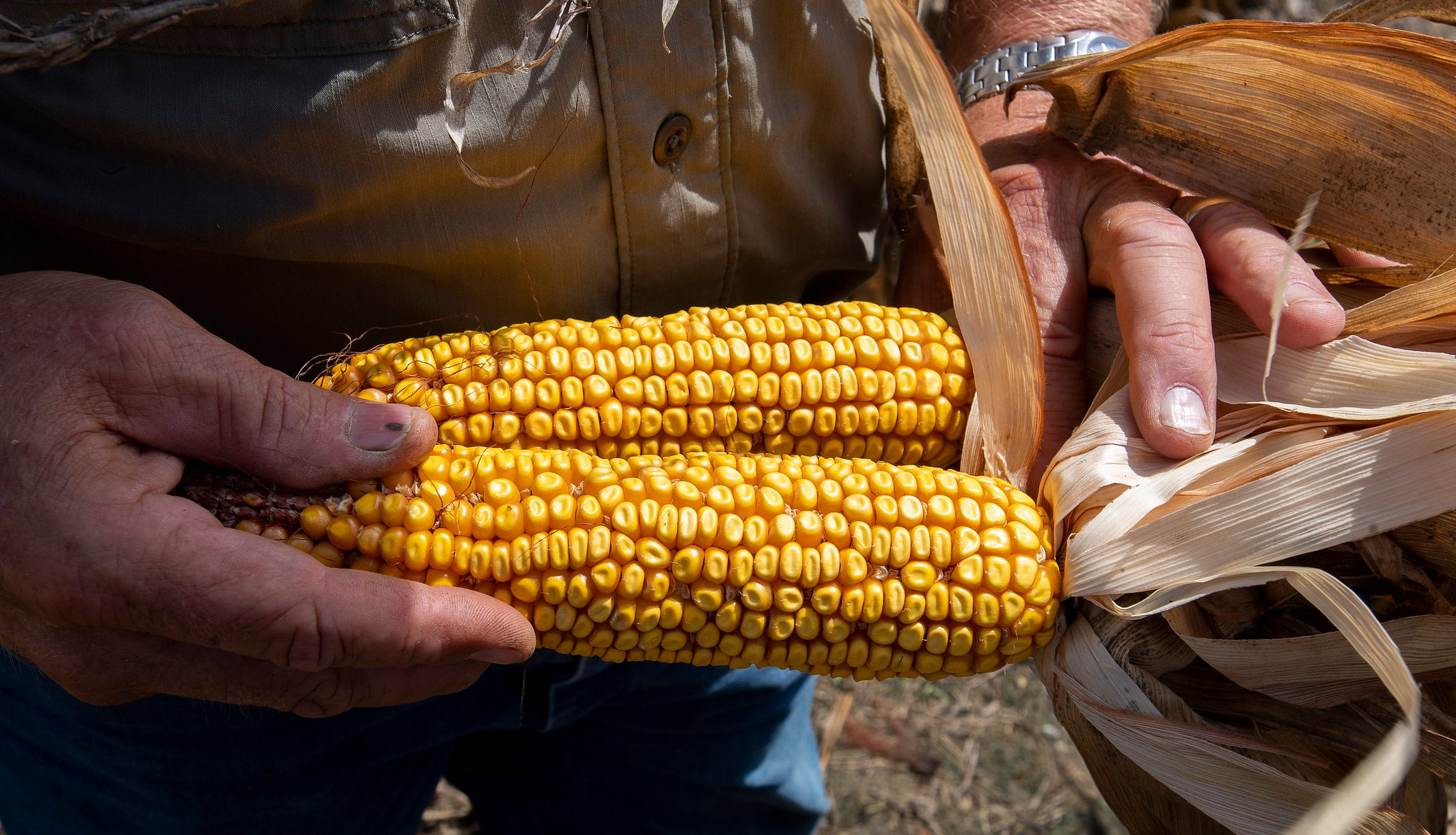 Mike Dee checks on corn that is ready to harvest on the Dee River Ranch near Aliceville, Ala., on Wednesday August 28, 2019. The corn plants turn brown when it is harvest time.