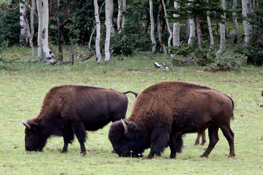 This undated photo provided by hunting guide Russ Jacoby shows bison in far northern Arizona. In the two years since Grand Canyon National Park approved a plan to reduce the bison herd, it has grown in size.