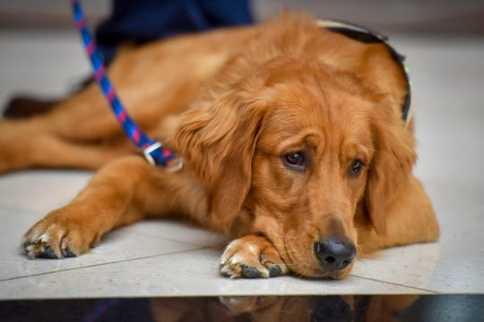 Service dog Jack waits for his next lesson as volunteer dog trainers are trained how to train service dogs at the Fairfax County, Virginia, government center on Monday, Aug. 26, 2019. The trainers and dogs are being trained by an organization called First Responder Canine, which provides assistant dogs to first responders who have had life changing trauma.