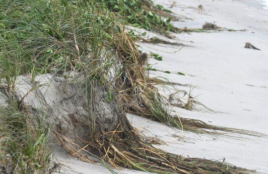 Vegetation hangs over the edge of a dune eroded by Hurricane Dorian at Coconut Point Park In Melbourne Beach.