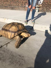 Morty the tortoise wanders around Altoona after escaping his enclosure for the second time in two years.