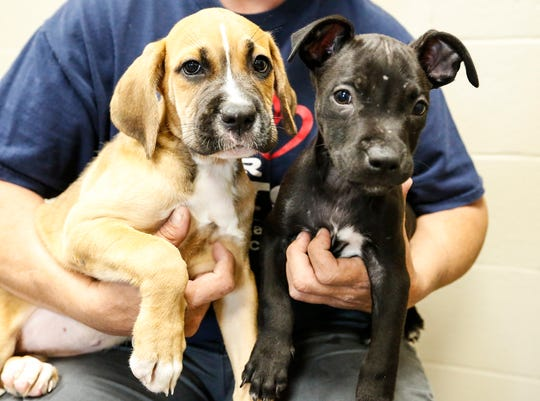 Two puppies being held at the Fond du Lac Humane Society Tuesday, September 3, 2019 that were impounded by City of Fond du Lac Police Department pending animal abuse charges. Doug Raflik/USA TODAY NETWORK-Wisconsin