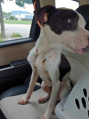 A pit bull mix was found this weekend abandoned and starved almost to death in a Fond du Lac apartment. Shelter manager Renee Webb says the dog must have been there for weeks, locked in a small room.