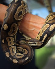 A ball python, similar to this one on display at a 2013 Python Challenge in Florida, disappeared from a Fond du Lac High School science lab over the Labor Day weekend.