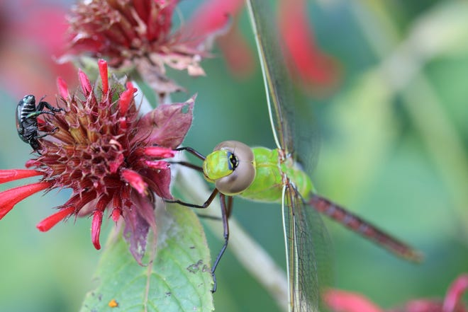 Dragonflies commonly fly south in the winter.