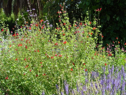 This salvia garden blends Cleveland and Autumn sage and their size difference from the traditional small, blue-flowered garden sages.