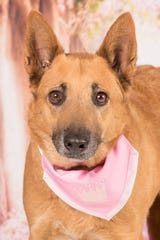 Rachel is available for adoption at 952 W. Melody Ave. in Gilbert. For more information, call 480-497-8296, email FFLdogs@azfriends.org or visit azfriends.org.